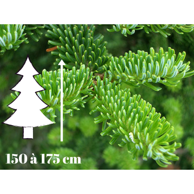 Sapin de Noël Fraséri - 150 à 175 cm - Qualité Prémium