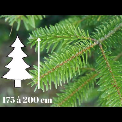 Sapin de Noël Nordmann - 175 à 200 cm - Qualité Prémium