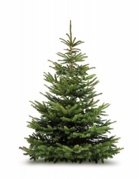 Sapin de Noël Nordmann   100 à 125 cm   Livraison gratuite