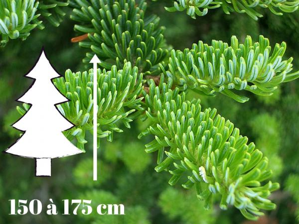 Prix Sapin De Noel.Sapin De Noël Fraséri 150 à 175 Cm Qualité Prémium