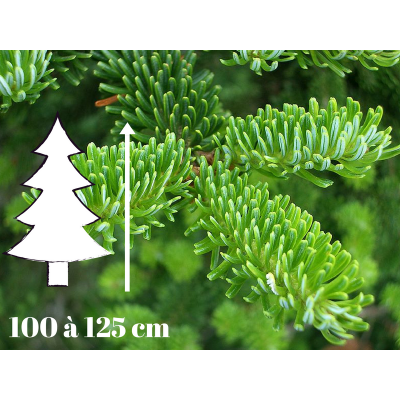 Sapin de Noël Fraséri - 100 à 125 cm - Qualité Prémium