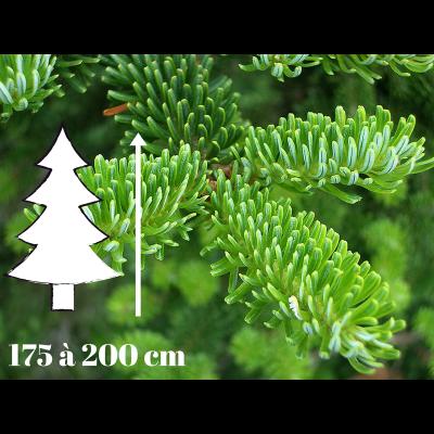 Sapin de Noël Fraséri - 175 à 200 cm - Qualité Prémium